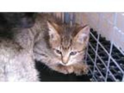 Adopt A2026783 a Domestic Short Hair