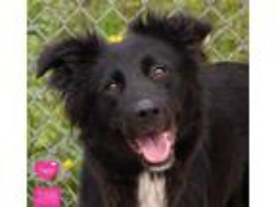 Adopt Sugar a Black - with White Border Collie / Labrador Retriever / Mixed dog