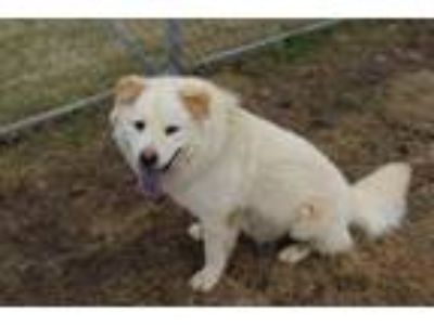 Adopt Cisco a Gray/Blue/Silver/Salt & Pepper Labrador Retriever / Chow Chow dog