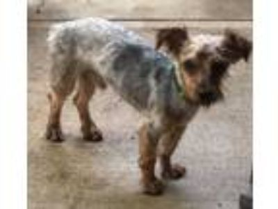 Adopt Kenan a Yorkshire Terrier