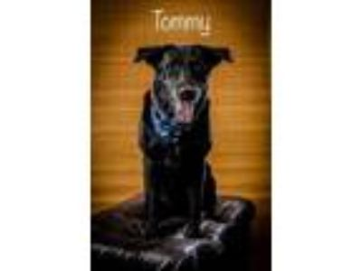 Adopt Tommy a Black Labrador Retriever / Mixed dog in North Myrtle Beach