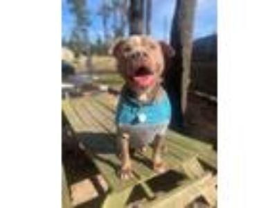 Adopt Big Boy a Pit Bull Terrier, American Staffordshire Terrier