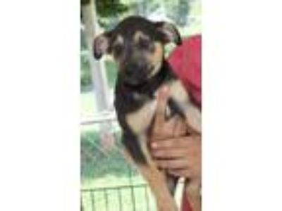 Adopt Lexi a German Shepherd Dog, Mixed Breed