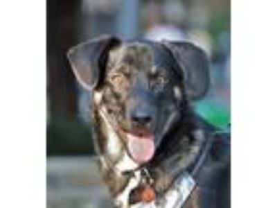 Adopt Teddy a Tricolor (Tan/Brown & Black & White) Labrador Retriever / Shepherd