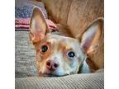 Adopt Zhorbit (MI) a Brown/Chocolate - with White Rat Terrier / Mixed dog in