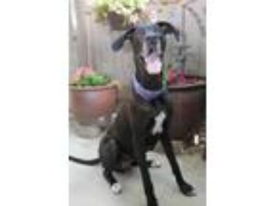 Adopt Harper (Black) a Black Great Dane / Mixed dog in Inver Grove Heights