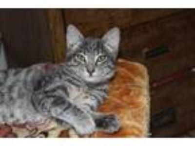 Adopt Cat#4 a Brown Tabby Domestic Shorthair (medium coat) cat in Pasadena