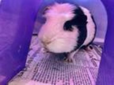 Adopt Oreo~18/19-0717b a Black Guinea Pig / Guinea Pig / Mixed small animal in