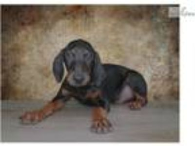 Bruno is a perfect company Doberman Pinscher 7985U
