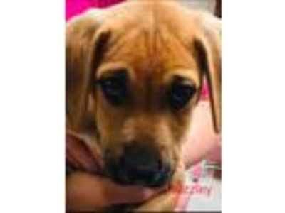 Adopt Grizzly a Brown/Chocolate - with Black Hound (Unknown Type) / Shepherd