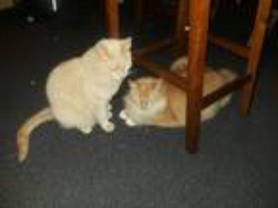 Adopt Morris a Orange or Red Domestic Longhair cat in Gresham, OR (25222243)