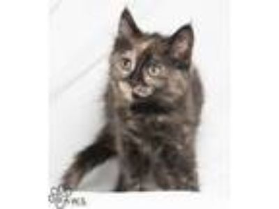 Adopt Taffeta a All Black Domestic Longhair / Domestic Shorthair / Mixed cat in