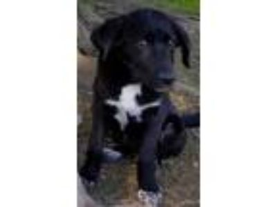 Adopt Yara a Black Labrador Retriever / Mixed dog in Carrollton, TX (25583211)