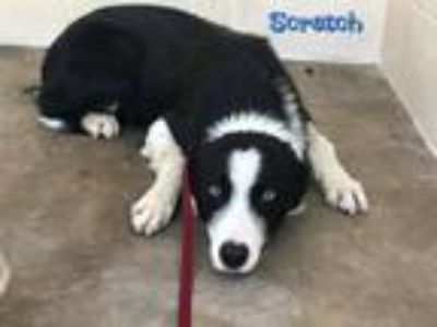 Adopt Scrat a Border Collie