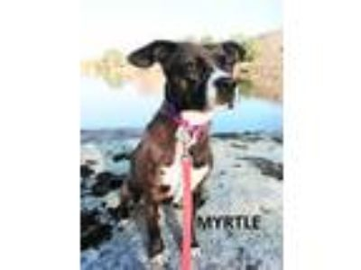 Adopt Myrtle a Brown/Chocolate Beagle / Pit Bull Terrier / Mixed dog in Mountain