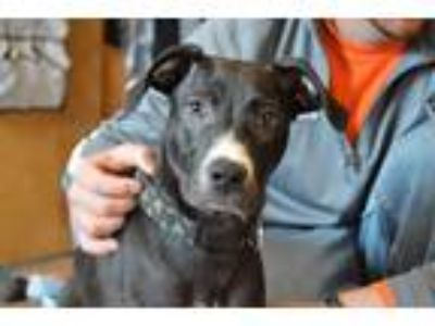 Adopt Eugene a Black - with White American Pit Bull Terrier / Labrador Retriever
