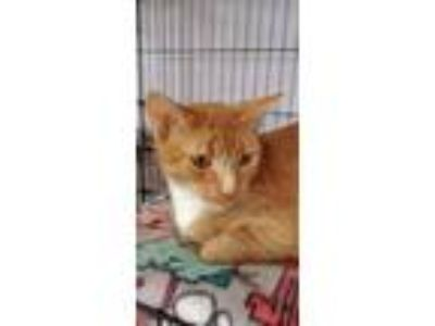Adopt Nala a Domestic Short Hair