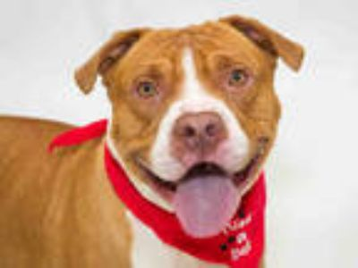 Adopt MAX a Red/Golden/Orange/Chestnut - with White American Pit Bull Terrier /