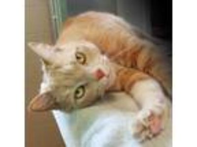 Adopt Snickers a Domestic Medium Hair, Domestic Short Hair