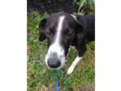 Adopt Lilly a Border Collie, Hound