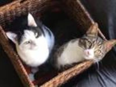 Adopt Snap & Pop ***Bonded brother & sister*** a Domestic Short Hair