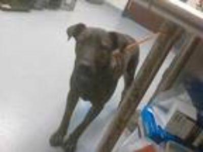 Adopt a Brindle Labrador Retriever / Mixed dog in Fayetteville, NC (25945499)