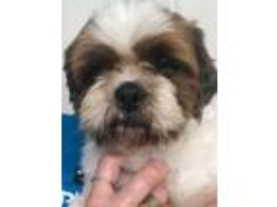 Adopt Buck a Brown/Chocolate - with White Shih Tzu / Mixed dog in New York