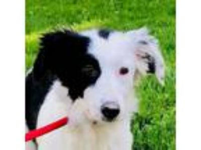Adopt Louise a Border Collie