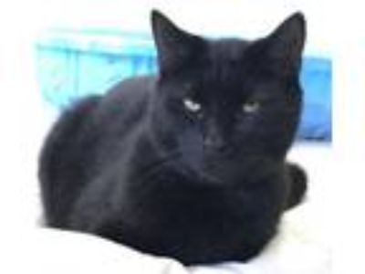 Adopt Blackie a Domestic Short Hair