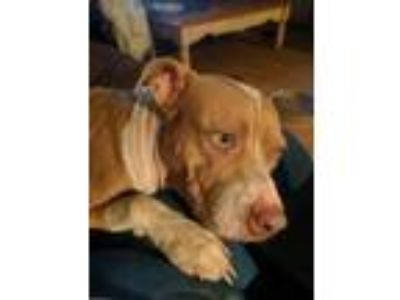 Adopt Cinnamon a Tan/Yellow/Fawn - with White American Pit Bull Terrier / Mixed