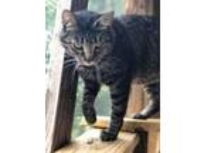 Adopt Purrcy a Tabby, Domestic Short Hair