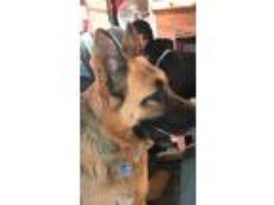 Adopt Zuma a Black - with Tan, Yellow or Fawn German Shepherd Dog / Mixed dog in