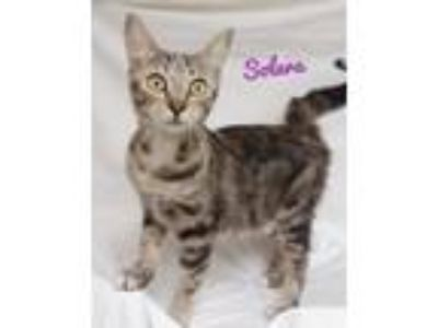Adopt Solara a Domestic Short Hair