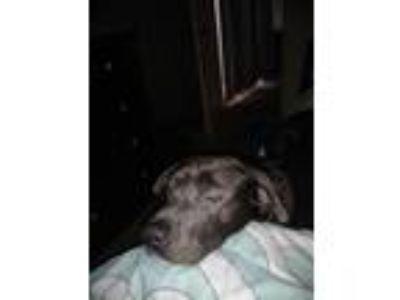 Adopt Yoda a Black - with Tan, Yellow or Fawn Labrador Retriever / Shar Pei /