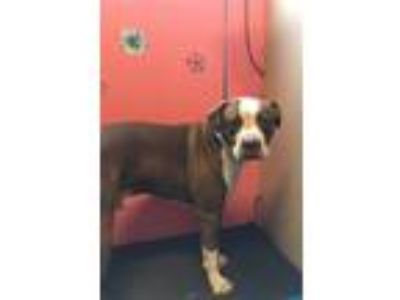 Adopt JERSEY a Staffordshire Bull Terrier