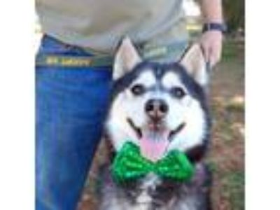 Adopt Truman a Siberian Husky / Mixed dog in Snow Camp, NC (18893752)