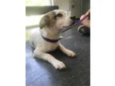 Adopt Gunner, the pup a Border Collie, Terrier