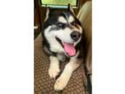 Adopt VADER - Seattle Area a Siberian Husky