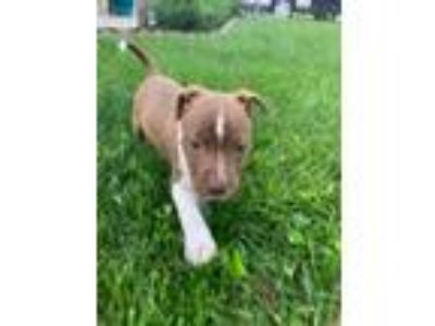 Adopt Seattle Slew a Pit Bull Terrier, Mixed Breed