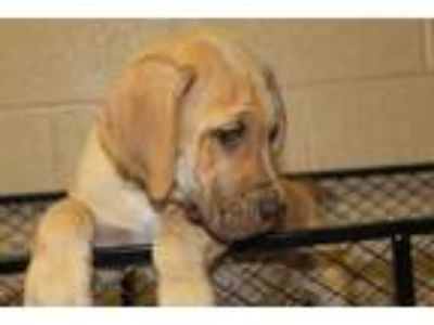 Adopt Reeses a Tan/Yellow/Fawn Great Dane / Mixed dog in Albany, OR (25888412)