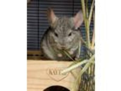 Adopt Pudge a Silver or Gray Chinchilla small animal in Fountain Valley