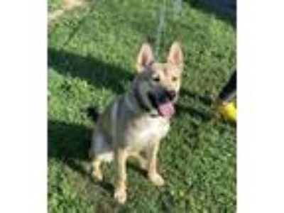 Adopt Ace a German Shepherd Dog, Husky