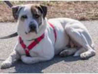 Adopt Patch a Boxer