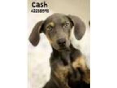 Adopt Cash a Gray/Blue/Silver/Salt & Pepper Catahoula Leopard Dog / Mixed dog in