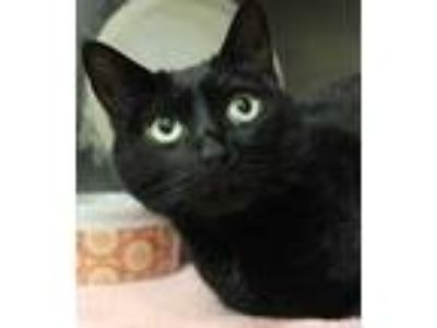 Adopt Pepper a All Black Domestic Shorthair / Domestic Shorthair / Mixed cat in