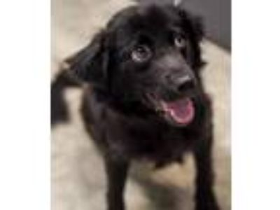 Adopt Wiggles-At the Shelter a Spaniel
