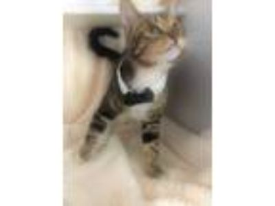 Adopt CONNOR a Brown Tabby Domestic Shorthair (short coat) cat in Iowa Park