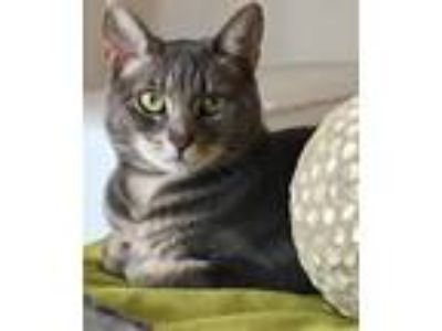 Adopt Gracie a Tiger Striped American Shorthair / Mixed cat in Miami