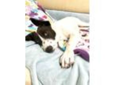 Adopt Kelly V28 a Black - with White Border Collie / Blue Heeler dog in Allen