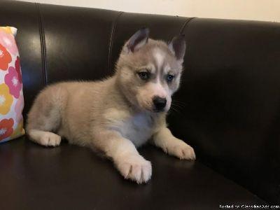 Gorgeous Siberian husky puppies/Text me asap at(435) 962